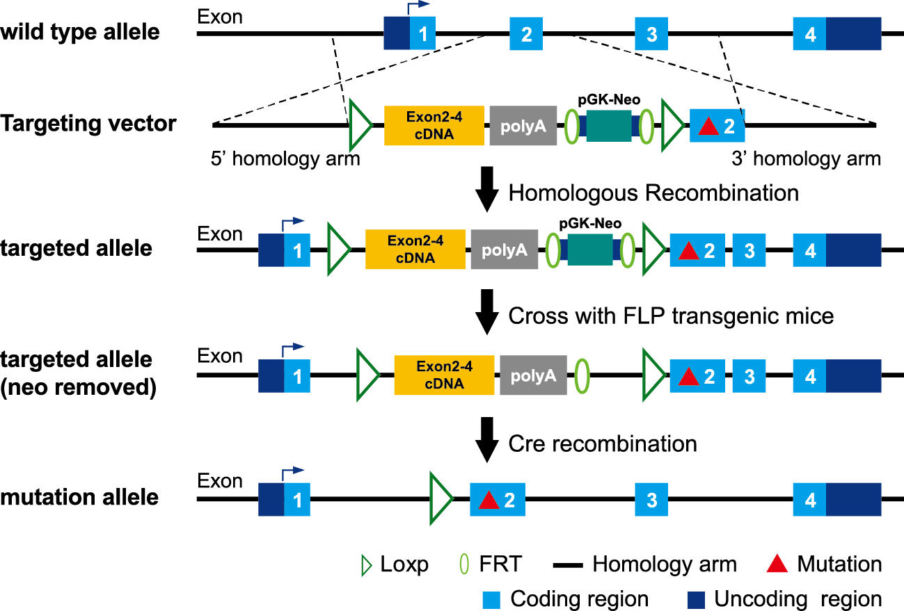 条件性基因點突變ES打靶策略示意图.png
