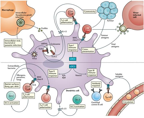 树突状细胞-6.png