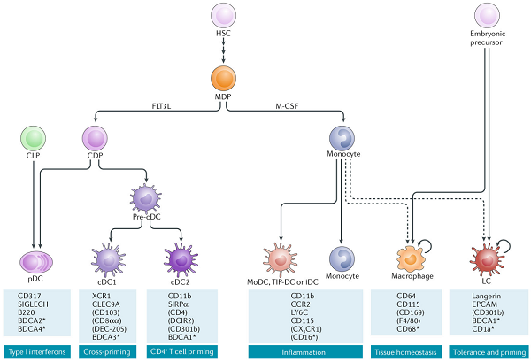 树突状细胞-2.png