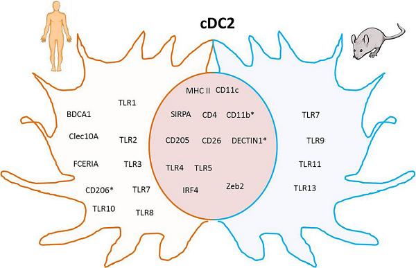 树突状细胞-4.png