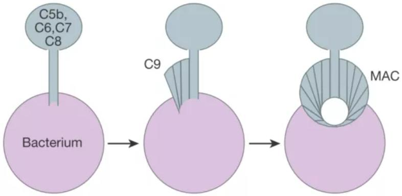 补体丨免疫药物的下一站荣光(附动物模型)-2.png