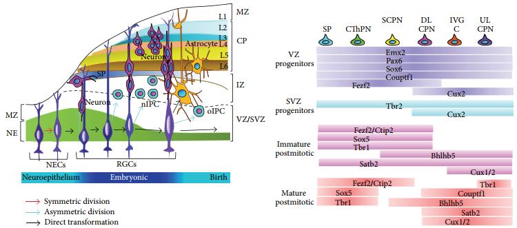 脑科学-图3.png
